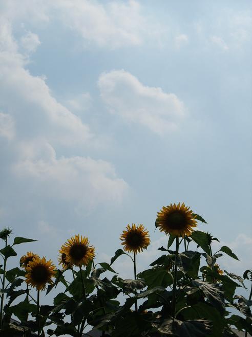 2010_07_21_sunflower